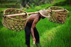 Granjero del Balinese con una cesta que trabaja en terrazas verdes del arroz Fotos de archivo libres de regalías