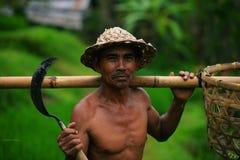 Granjero del Balinese con una cesta que trabaja en terrazas verdes del arroz Fotografía de archivo