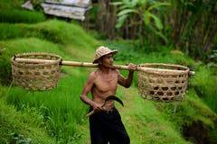 Granjero del Balinese con una cesta que trabaja en terrazas verdes del arroz Imagen de archivo