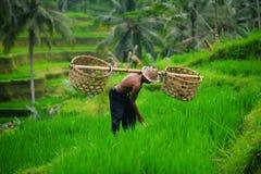 Granjero del Balinese en terrazas verdes del arroz imagen de archivo