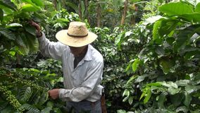 Granjero del café, trabajador, plantación, naturaleza metrajes
