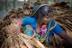 Granjero del tabaco de la mujer que elabora en el sitio del manikganj de Dacca Foto de archivo