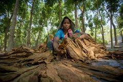 Granjero del tabaco de la mujer que elabora en el sitio del manikganj de Dacca Imagen de archivo