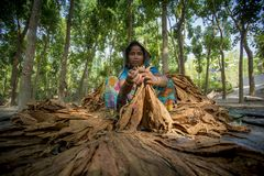 Granjero del tabaco de la mujer que elabora en el sitio del manikganj de Dacca Fotos de archivo libres de regalías