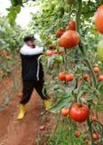Granjero del tomate Fotos de archivo