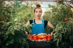 Granjero emocionado Woman Holding un cajón por completo de tomates orgánicos Foto de archivo