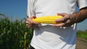 Granjero en campo de maíz agrícola cultivado que examina la mazorca de maíz joven antes de la estación de la cosecha almacen de video