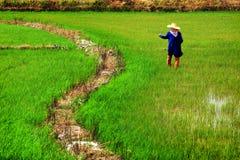 Granjero en campo del arroz imagen de archivo libre de regalías