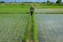 Granjero en campo del arroz Imagen de archivo