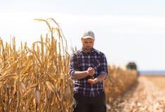 Granjero en campos de maíz durante cosecha Fotos de archivo libres de regalías