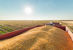 Granjero en campos de maíz Fotografía de archivo
