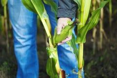 Granjero en el campo de maíz Imagen de archivo libre de regalías