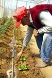 Granjero en invernadero. Foto de archivo