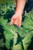 Granjero en la planta del bróculi Fotografía de archivo