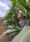 Granjero en un campo de maíz Fotos de archivo