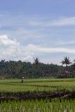 Granjero en un campo del arroz Fotos de archivo