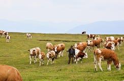Granjero entre las vacas en Dobrac, Austria Imagenes de archivo