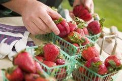 Granjero Gathering Fresh Strawberries en cestas Imágenes de archivo libres de regalías