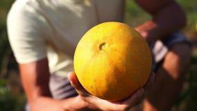 Granjero hermoso joven que examina la cosecha del melón para la disposición para cosechar almacen de video