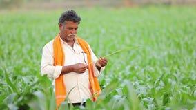 Granjero indio en el campo de maíz verde almacen de video