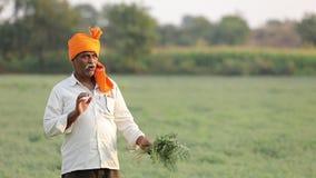 Granjero indio en el campo del garbanzo, planta de garbanzo de la demostración del granjero metrajes
