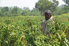 Granjero indio en el campo del mijo de finger en Bangalore, la India Foto de archivo