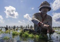 Granjero indonesio que trabaja en su granja del mar para plantar la alga marina para cultivar más, Nusa Penida, Indonesia fotos de archivo