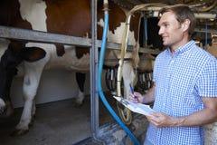 Granjero Inspecting Dairy Cattle en sala de ordeño Fotos de archivo libres de regalías