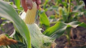Granjero joven Checks el maíz de maduración almacen de metraje de vídeo