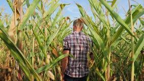Granjero joven de Steadicam que comprueba el progreso del crecimiento de las mazorcas de maíz almacen de video