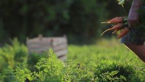 Granjero joven en zanahorias de la cosecha del sombrero en campo de la granja orgánica almacen de video