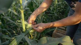 Granjero joven que comprueba el progreso del crecimiento de las mazorcas de maíz en el campo de la granja orgánica foto de archivo