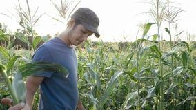 Granjero joven que comprueba el progreso del crecimiento de las mazorcas de maíz en el campo de la granja orgánica fotos de archivo libres de regalías