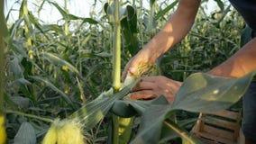 Granjero joven que comprueba el progreso del crecimiento de las mazorcas de maíz en el campo de la granja orgánica imágenes de archivo libres de regalías