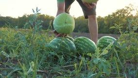 Granjero joven que cosecha la cosecha de la sandía en el campo de la granja orgánica almacen de video