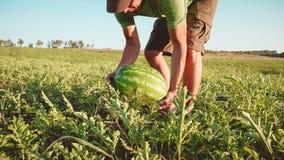 Granjero joven que cosecha la cosecha de la sandía en el campo de la granja orgánica fotos de archivo libres de regalías