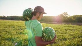 Granjero joven que cosecha la cosecha de la sandía en el campo de la granja orgánica fotos de archivo