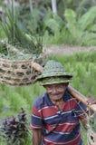 Granjero local en terraza del arroz en Bali Asia Indonesia Imagen de archivo libre de regalías