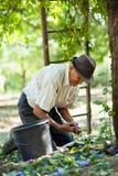 Granjero mayor que cosecha ciruelos Fotografía de archivo