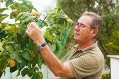 Granjero mayor que pone una red en un árbol de membrillo Imágenes de archivo libres de regalías
