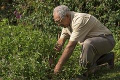 Granjero mayor que produce las hierbas orgánicas Concepto de la ecología Imagen de archivo