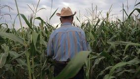 Granjero mayor In un vaquero Hat Goes Through el campo de maíz, parte posterior de la visión almacen de metraje de vídeo