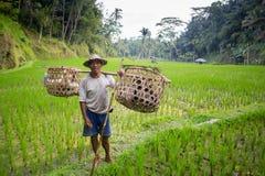 Granjero Near Ubud del arroz en Indonesia Fotos de archivo libres de regalías