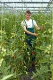 Granjero orgánico en invernadero Foto de archivo libre de regalías