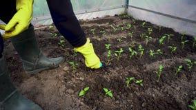 Granjero que afloja el suelo entre alm?cigos del tomate en invernadero de la primavera Agricultura almacen de metraje de vídeo