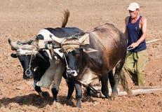 Granjero que ara su campo en Cuba Foto de archivo