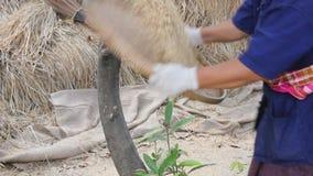 Granjero que avienta el arroz de arroz almacen de video