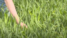 Granjero que camina en campo de trigo en almacen de metraje de vídeo
