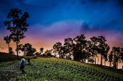 Granjero que camina en campos de maíz con puesta del sol hermosa Fotografía de archivo