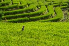Granjero que camina en el arroz archivado Imágenes de archivo libres de regalías